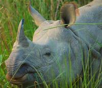 A rhinoceros unicornis